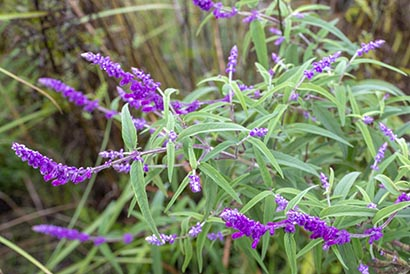 Salvia_leucantha_purple_velvet