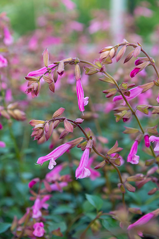 Salvia_love_and_wishes_fleurs