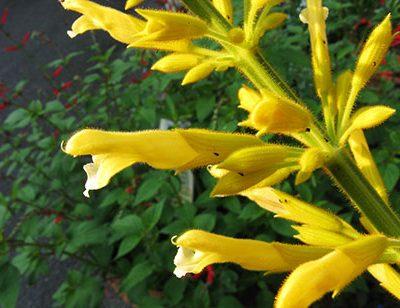 Salvia_madrensis_fleur