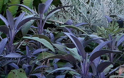 Salvia_officinalis_purpurascens