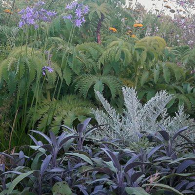Salvia_officinalis_purpurascens_massif