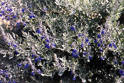 salvia-chamaedryoides-silver-leaves