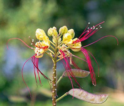 Caesalpinia_gillesii_fleurs