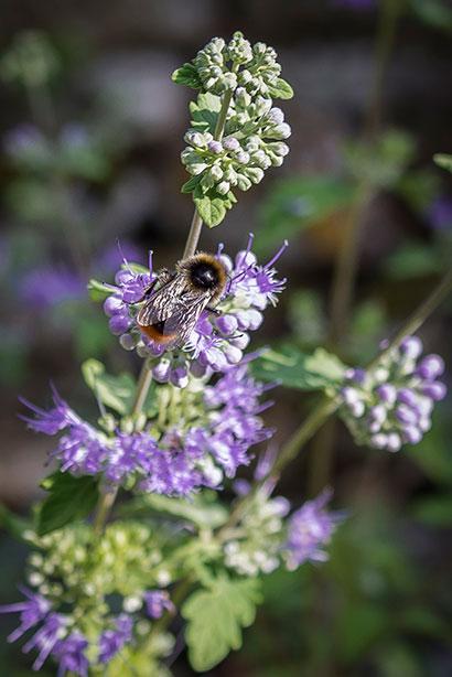 Caryopteris_clandonensis_abeille
