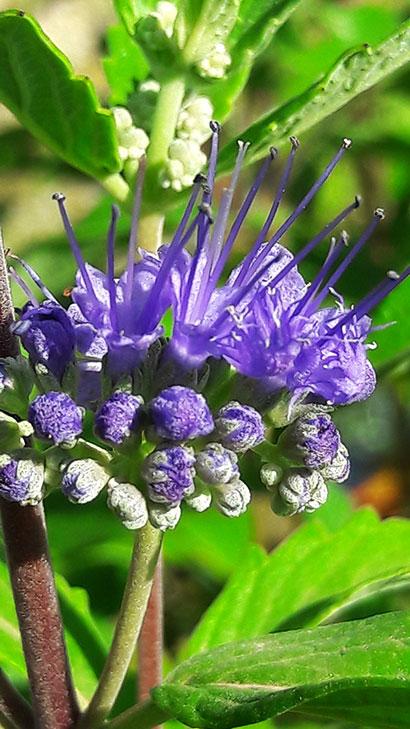 Caryopteris_clandonensis_fleur