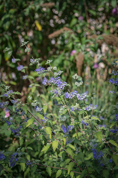 Caryopteris_clandonensis_floraison