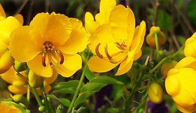 Cassia_floribunda_fleurs