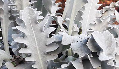 Centaurea_ragusina