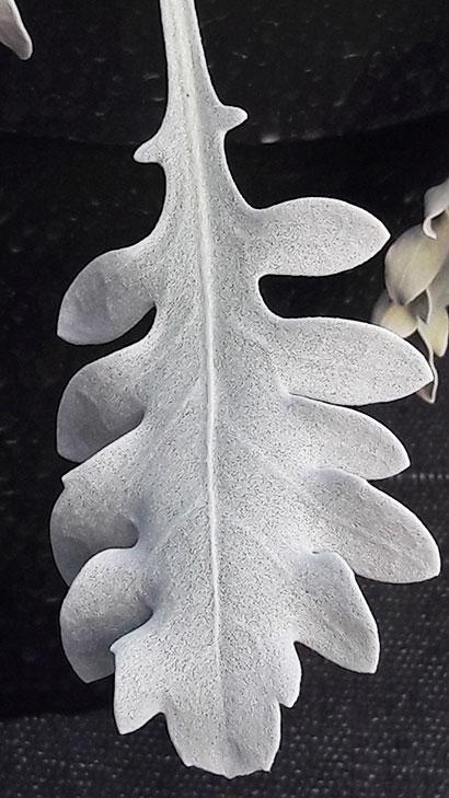 Centaurea_ragusina_feuille