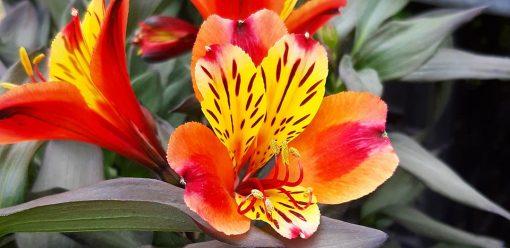 Alstroemeria_indian_summer_arc_en_fleurs