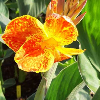 Canna_Calimero_fleur