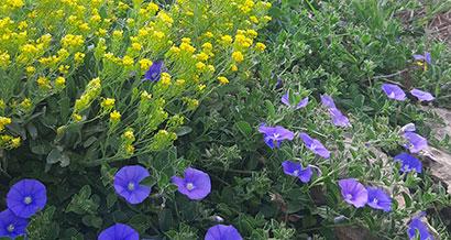 Convolvulus_mauritanicus_pepiniere_arc_en_fleurs