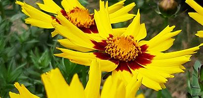 Coreopsis_sunkiss_fleur