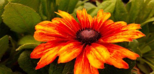 Echibeckia_summerina_fleur