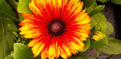 Echibeckia_summerina_fleur_vue_dessus