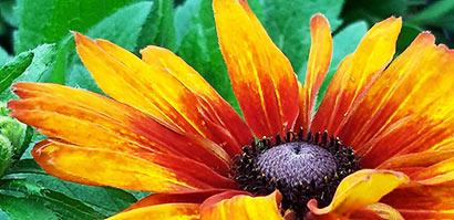 Echibeckia_summerina_zoom_fleur