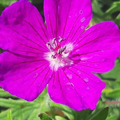Geranium_sanguineum_fleur