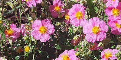 Helianthemum_Lawrenson's_pink_fleurs