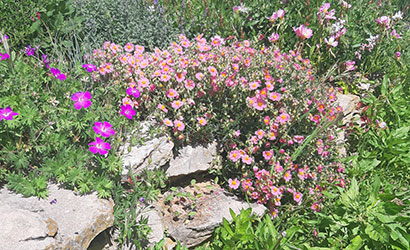 Helianthemum_Lawrenson's_pink_massif_vivaces