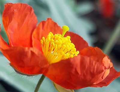 Helianthemum_fire_dragon_fleur