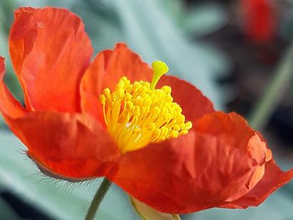 Helianthemum_fire_dragon_fleur