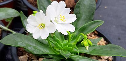 Lewisia_cotyledon_fleurs_blanches