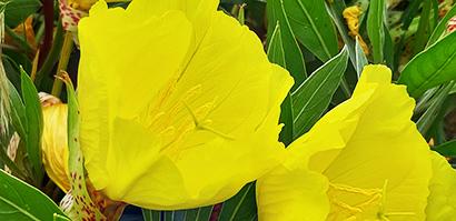 Oenothera_missouriensis_fleur