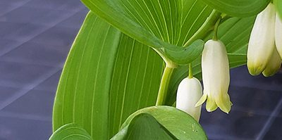 Grand muguet ou Sceau de Salomon