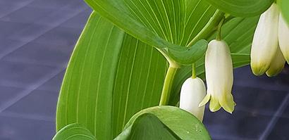 Polygonatum_multiflorum_fleur
