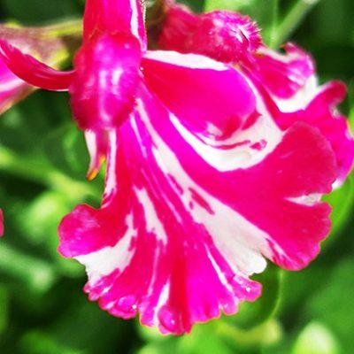 Salvia_cassandra_fleur_zoom