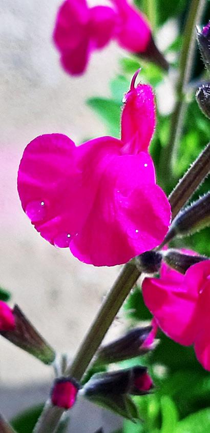 Salvia_pink_blush_fleur