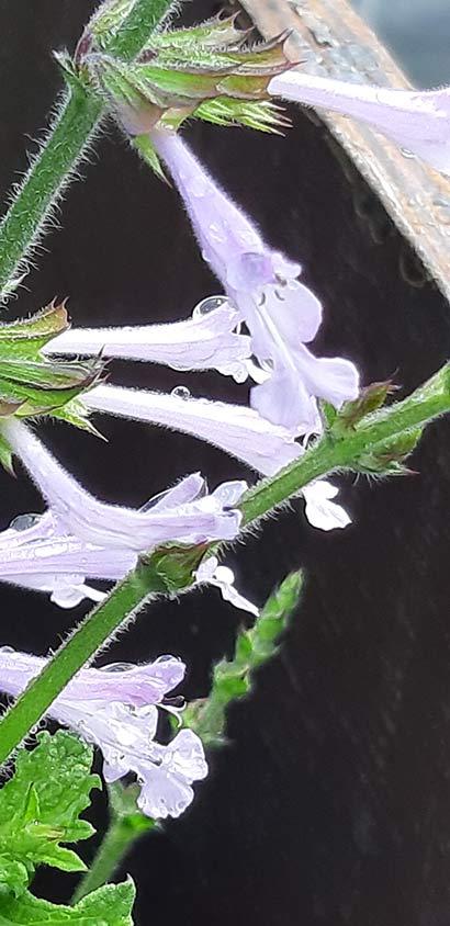Salvia_scabra_floraison