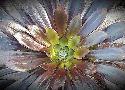 Aeonium_arboreum_atropurpurea