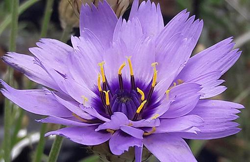 Catananche_caerulea_fleur