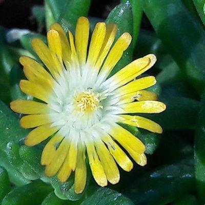 Delosperma_jaune_coeur_blanc