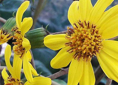 Farfugium_japonicum_fleurs