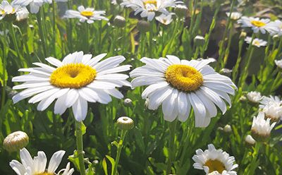 Leucanthemum_maximum_snow_lady