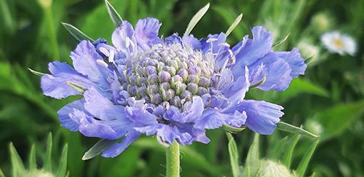 Scabiosa_caucasica_blue_fleur