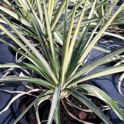 Yucca_filamentosa_color_guard