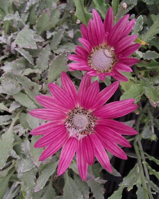 Arctotis_fleur