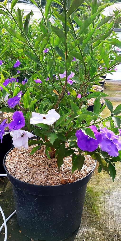 Brunfelsia_pauciflora