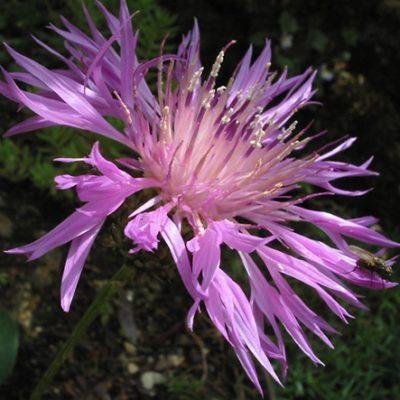 Centaurea_simplicaulis