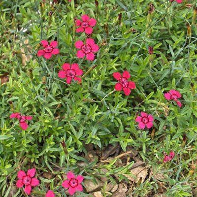 Dianthus_deltoides_Leuchfunk