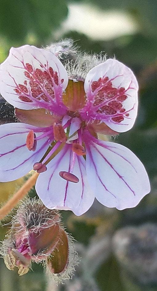 Erodium_pelargolifolium