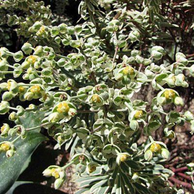 Euphorbia_characias_'Silver_Swan'