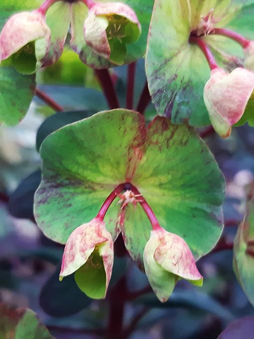 Euphorbia_fleur