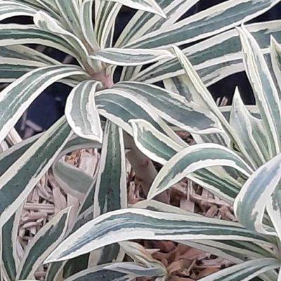 Euphorbia_tiger_feuille