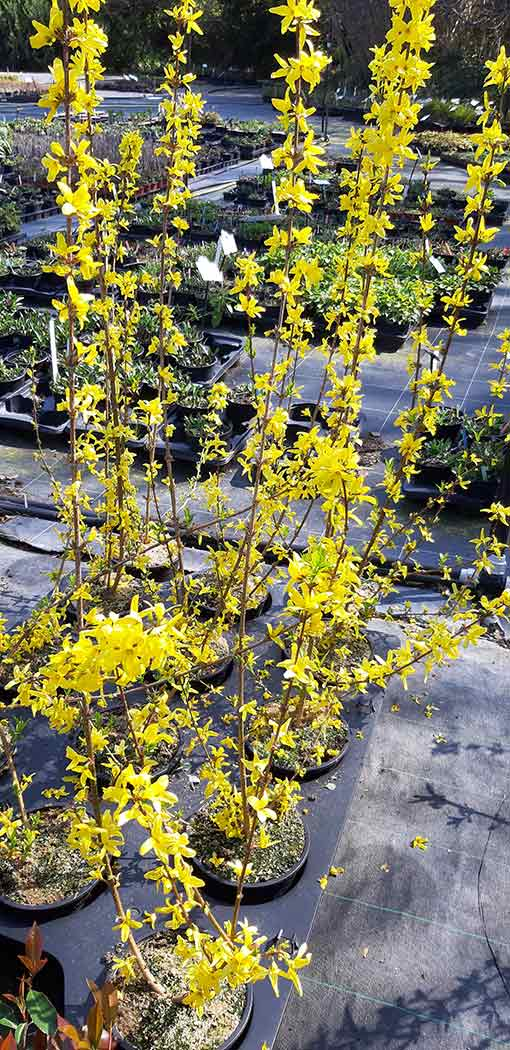 Forsythia_pot