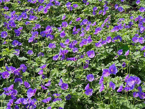 Geranium_'Johnson_Blue'