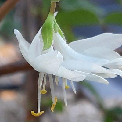 Lonicera_fragrantissima_fleur